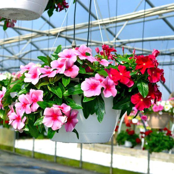 Các loài hoa nở quanh năm, vừa dễ trồng lại vừa đẹp