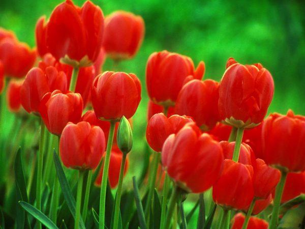 Hoa tulip nở trong bao lâu thì tàn?