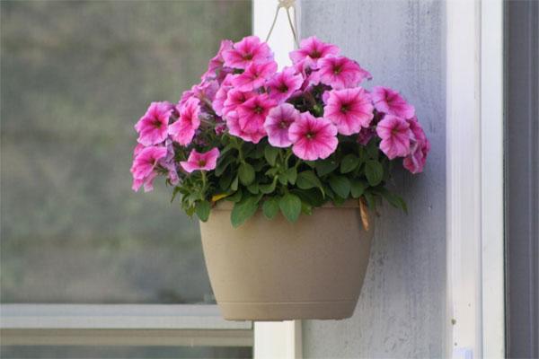 Ý nghĩa của hoa dạ yến thảo – loài hoa mùa hè