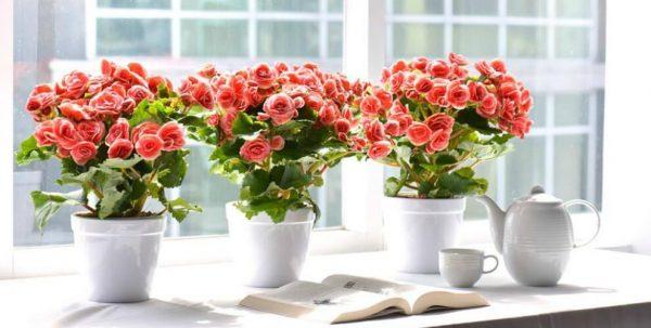 Ý nghĩa của hoa hải đường – loài hoa phú quý