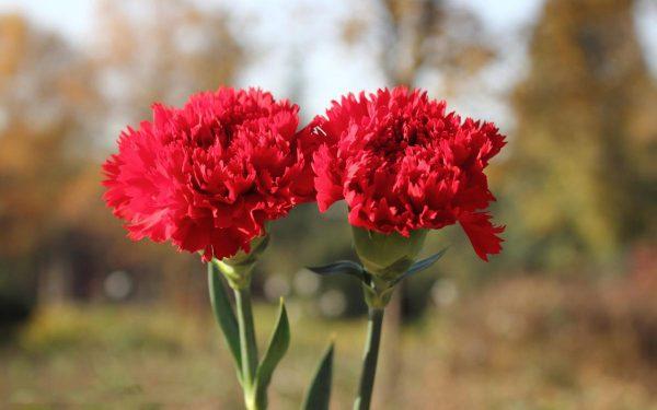 Ý nghĩa của hoa phăng – biểu tượng sắc đẹp vạn người mê
