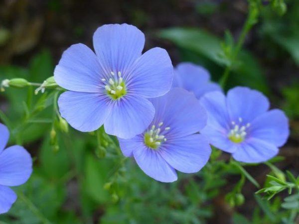 Những loài hoa tượng trưng cho tình yêu vĩnh cửu, son sắt