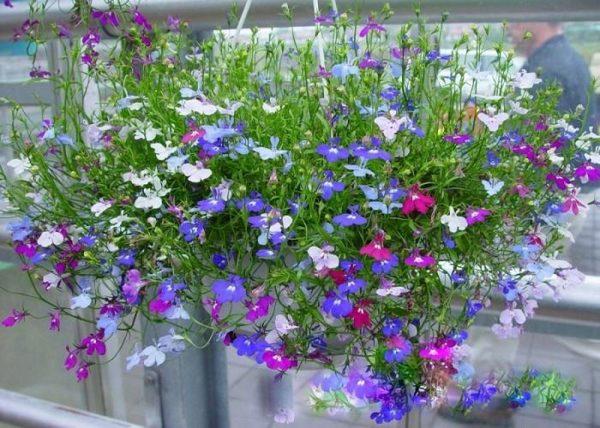 Ý nghĩa của hoa thuý điệp - loài hoa trẻ trung