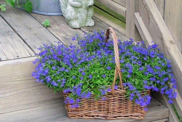 Ý nghĩa của hoa thuý điệp – loài hoa trẻ trung